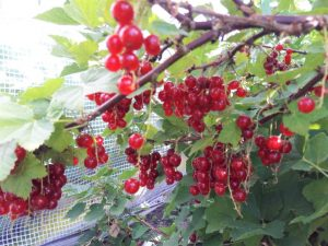 Homemade Redcurrant Cordial