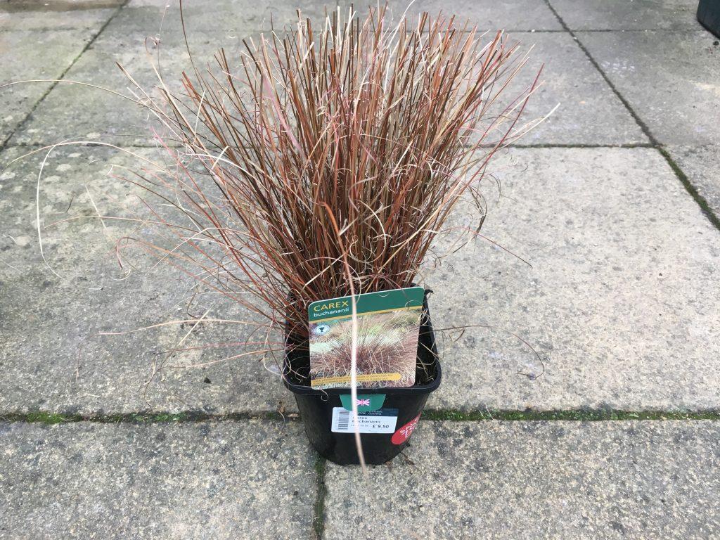 Carex buchananii - Winter