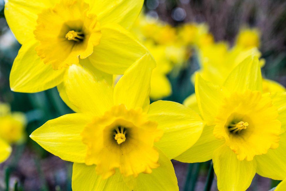 Daffodils (Pexels)