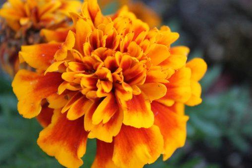 French Marigold [Pexels]