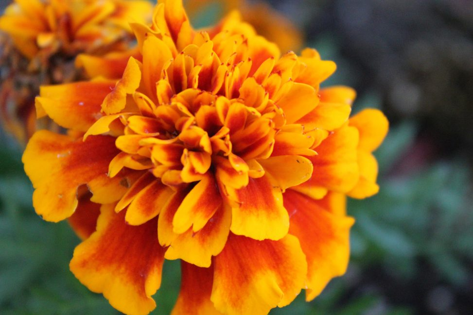 French Marigold [Pexels]
