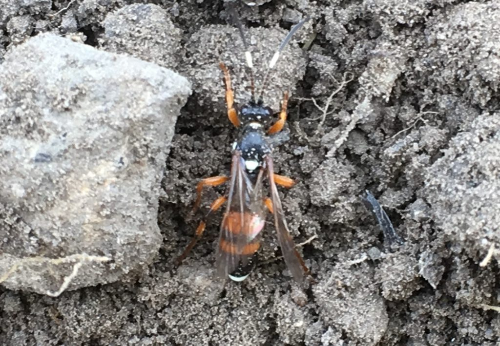 Wasp - Ichneumon sarcitorius