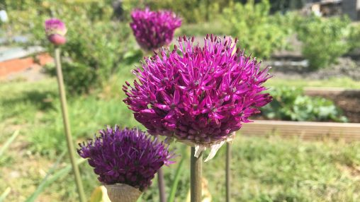 MrB's Alliums (2019)